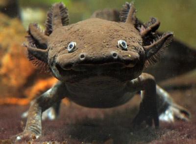 zierfisch center mering elos aqua studio axolotl. Black Bedroom Furniture Sets. Home Design Ideas