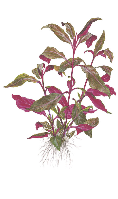 Alternanthera reineckii 'Purple' (lilacina)